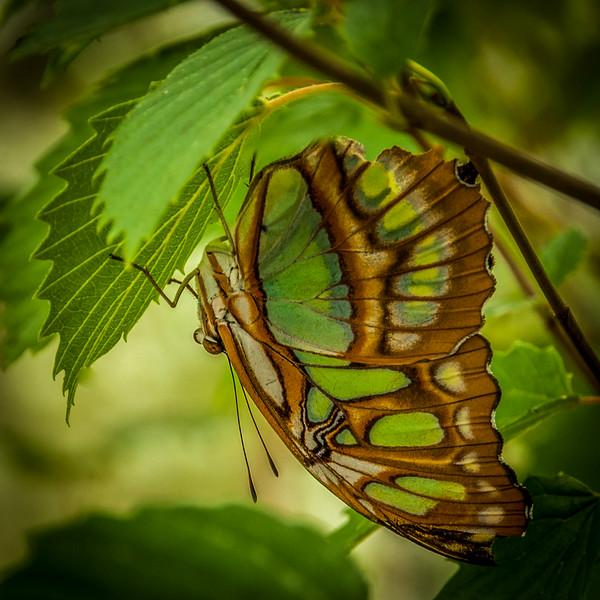 Lepidoptera 1, Newfoundland Insectarium - 8 August 2012 - 10x10, $60