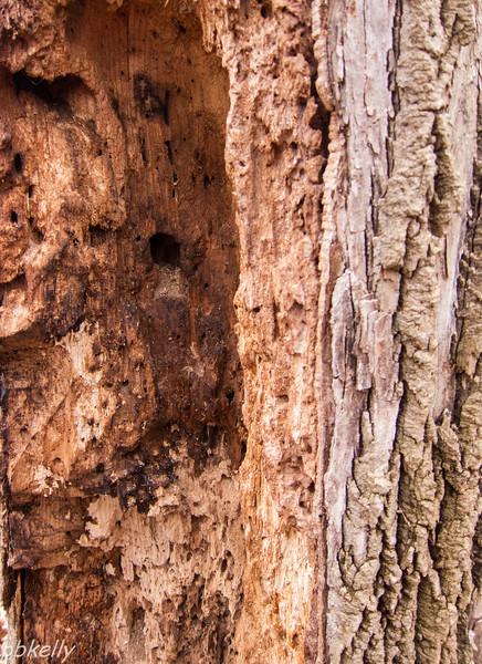 rotten tree trunk 013013.jpg