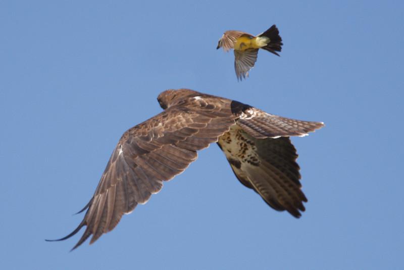 Swainson's Hawk intermediate morph adult mobbed by Western Kingbird (1) at Firebaugh, CA (07-18-2009)