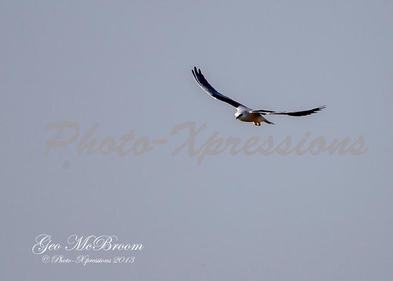 white tailed kite-BIF_6518.jpg
