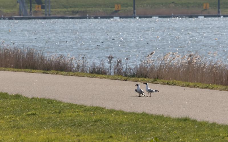 kokmeeuw, blackheaded gull