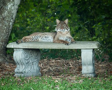 The Casual Bobcat
