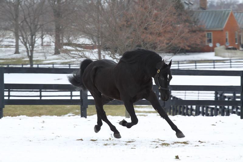 Black Morgan Horse Running in the Snow