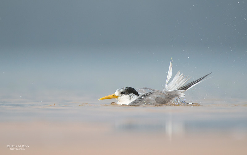 Crested Tern, Lake Woolumbulla, NSW, Aus, Jan 2013-1.jpg