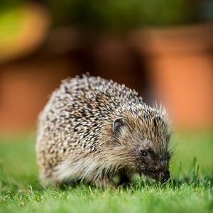 Horis the Hedgehog