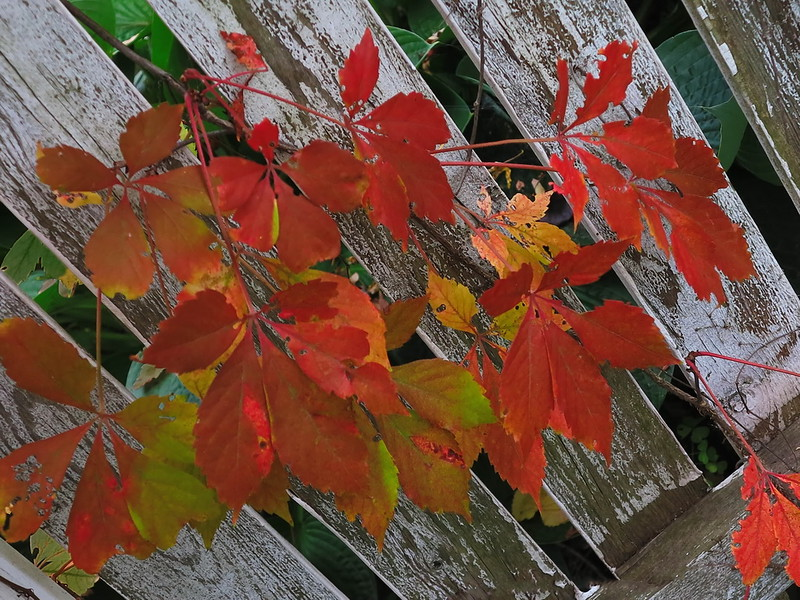 Virginia Creeper on Fence.jpg
