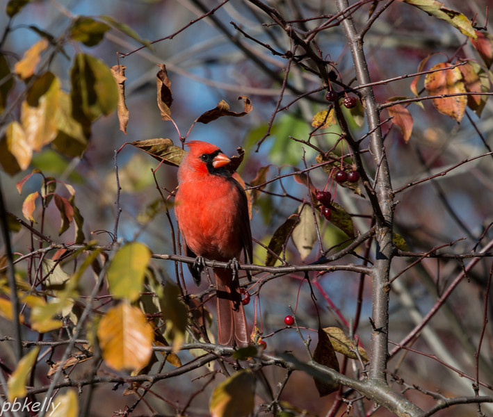 11-03.  This cardinal at North Chagrin checked out the berries.