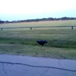Buzzard getting a drink. Was on the way home, pulled up right beside it and captured this video on my G1. It was getting dark so it turned out pretty well.
