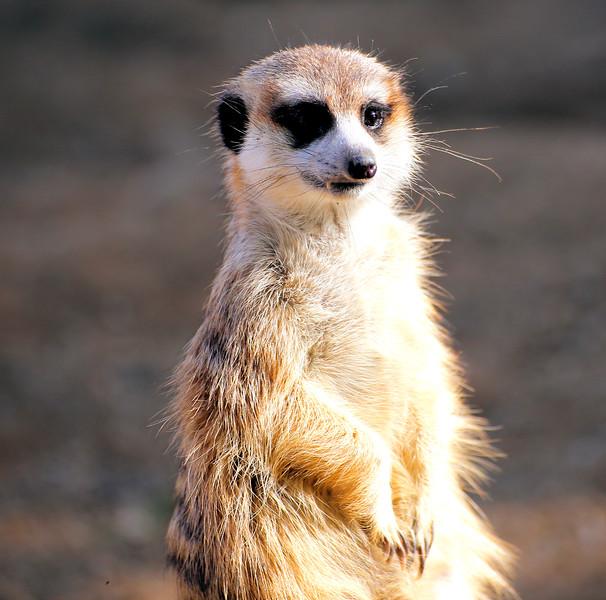 Meerkat.jpg