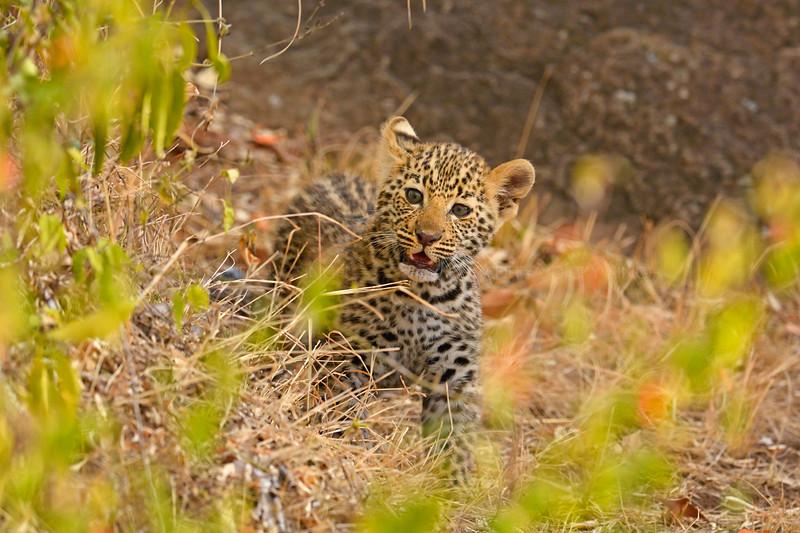 African Leopard (Panthera pardus pardus) cub on a rock in Masai Mara