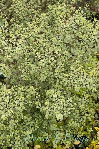Pittosporum tenuifolium 'Oliver Twist'_9472.jpg