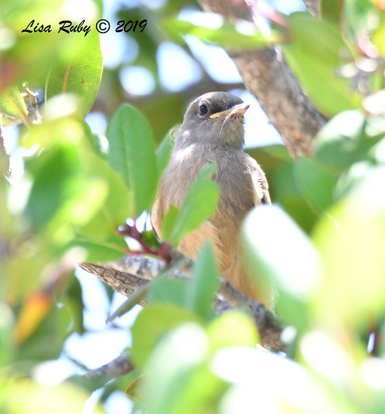 Juvenile Say's Phoebe - -  6/9/2019 - South Creek Park Sabre Springs