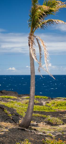 Hawaii Palms 4