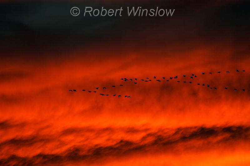 Snow Geese, Chen caerulescens, Flying, Sunset,  Bosque del Apache National Wildlife Refuge, New Mexico, USA, North America