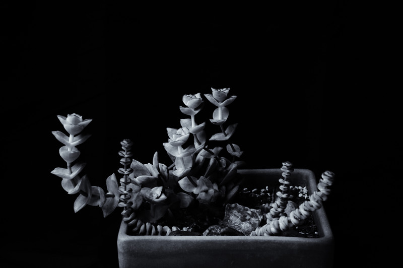 succulents Illford 125 051620-.jpg