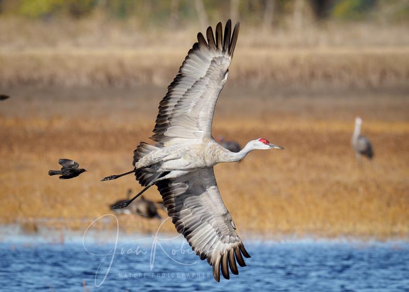 Blackbird chasing Sandhill Crane, Llano Seco Refuge, Chico CA
