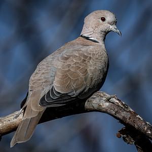11-1-20 Eurasian Collared-Dove