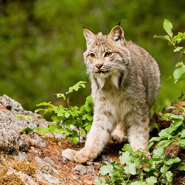 A very attentive Canada lynx.