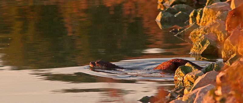 River Otter at dawn, las Gallinas