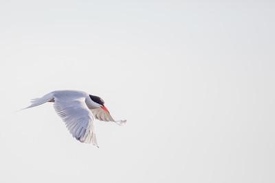 Swedish Birds/Svenska fåglar