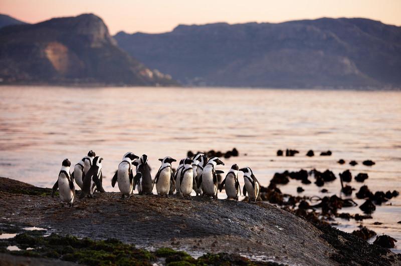 African Penguins (Jack Ass) - 3975.jpg