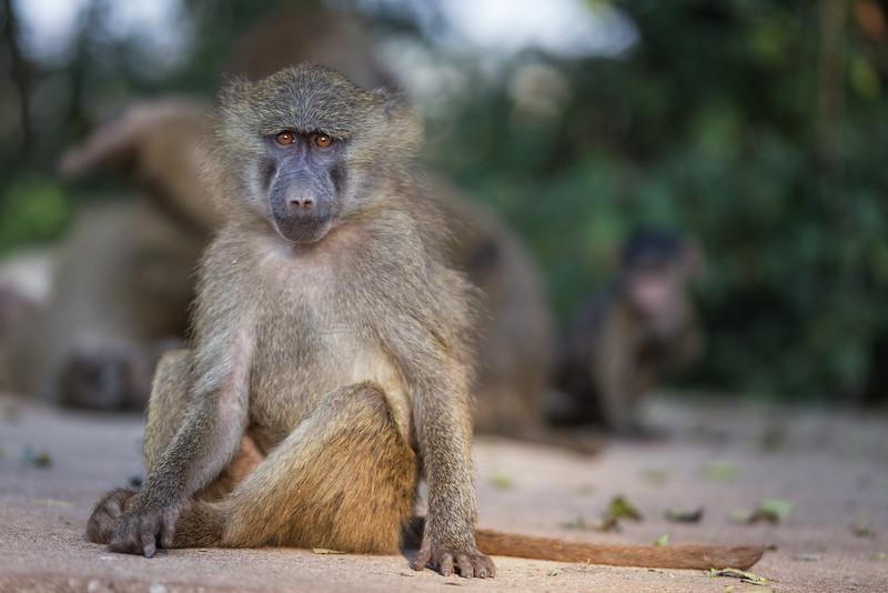 Ngorongoro Baboon - Tanzania