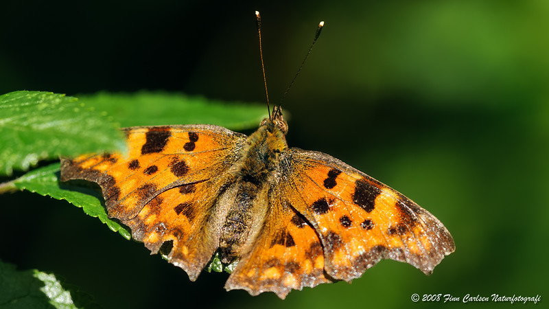 Det hvide C (Polygonia c-album - Comma)