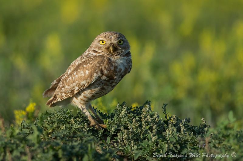 Burrrowing Owl in Yellow_4Z8A6172.jpg