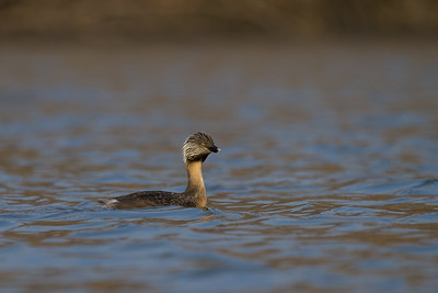 Hoary Headed Grebes