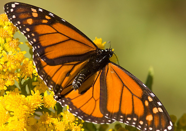 Monarch_CapeMay_Oct10_02.jpg
