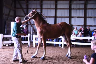 Jr Champion Belgian Stallion