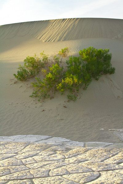 Plants that have adapted to grown on sand. The roots go down 50-60 ft in search of water.