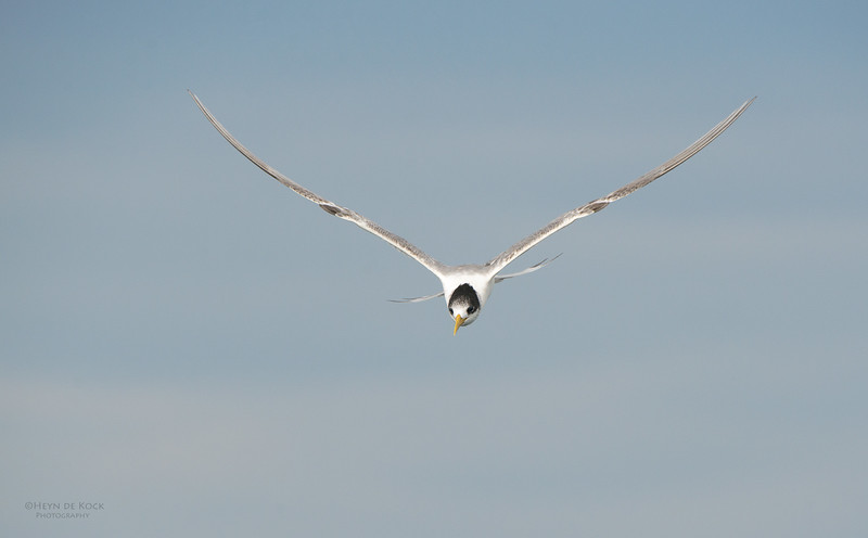 Crested Tern, Wollongong Pelagic, NSW, Aus, Apr 2014-2.jpg