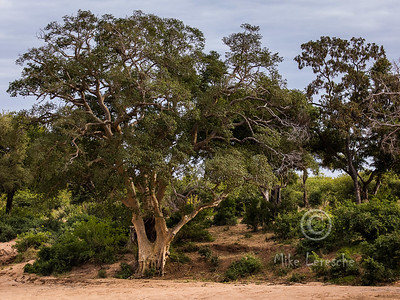 Trees and other Kruger flora