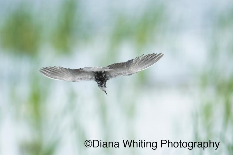 Black Tern Fishing