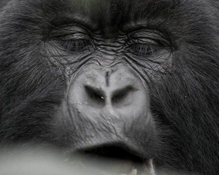 Gorillas  8426.jpg