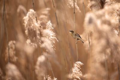 Pokrzewkowate / Warblers