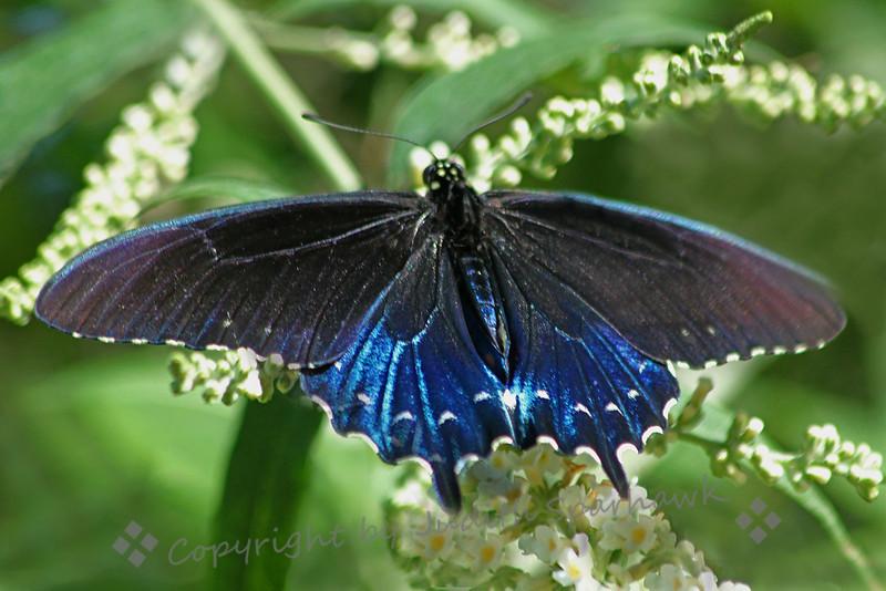 Pipevine Swallowtail Shine.jpg