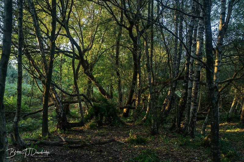 Chailey Common-woodland.jpg