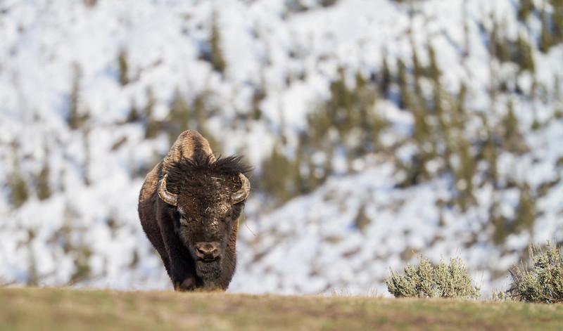 Bison bull Yellowstone National Park WY IMG_6321.jpg