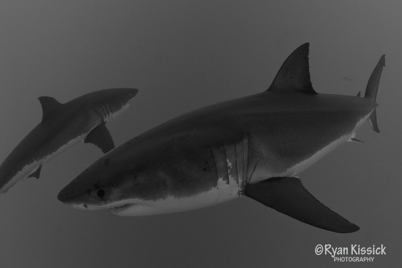 Pair of Great White Sharks