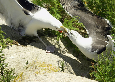Seagulls Thacher Island