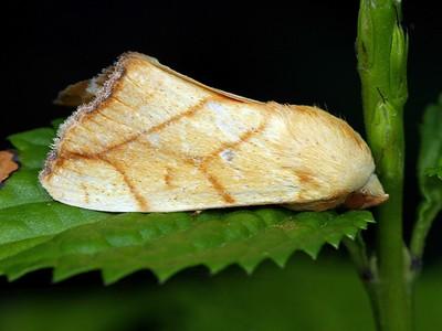 subfamily Chloephorinae