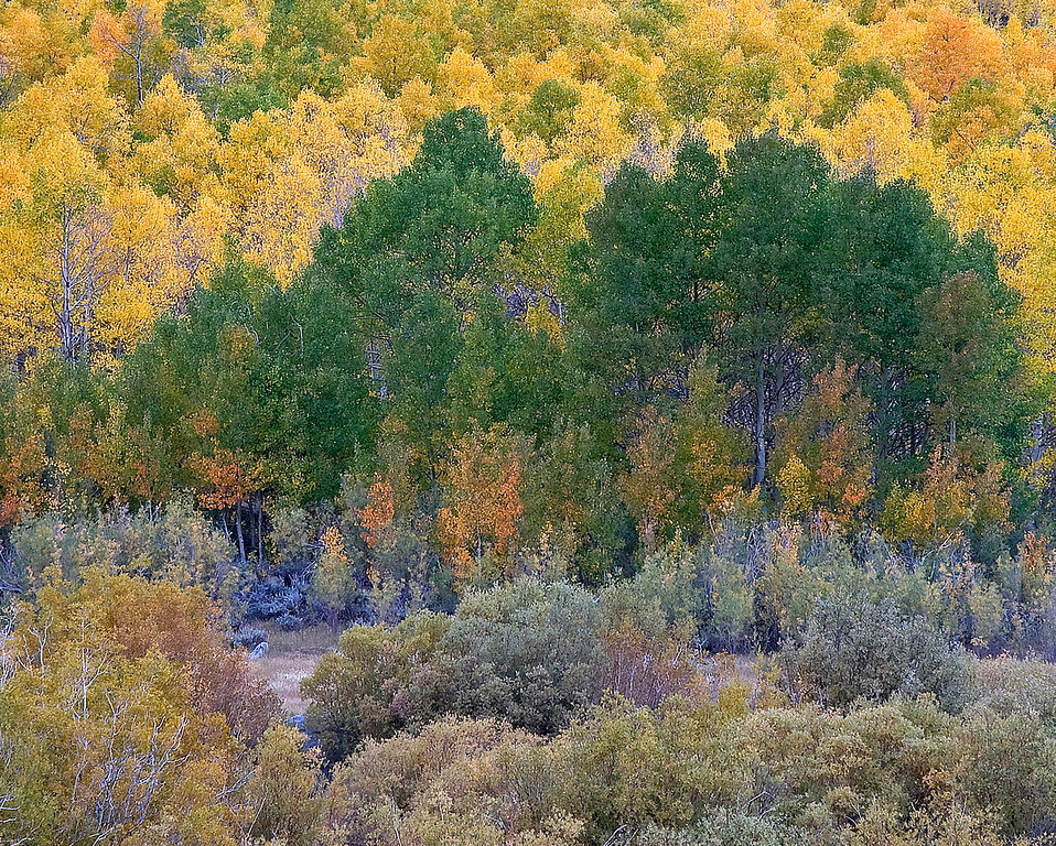 Bishop Creek Aspens