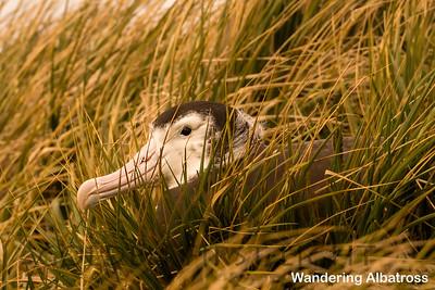 Wandering Albatross, South Georgia