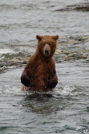 McNeil River Bears 4
