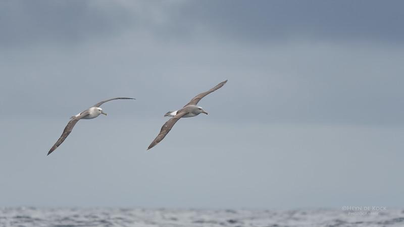 Salvin's & Shy Albatross, Eaglehawk Neck Pelagic, TAS, Sept 2016-1.jpg