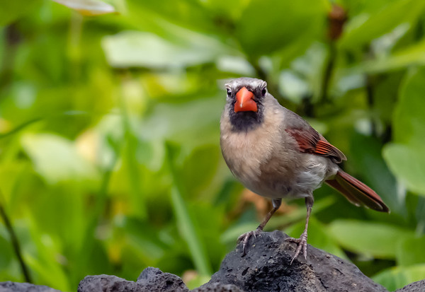Cardinals - Female