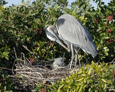 FLORIDA   VENICE BIRDS  1.27.2008