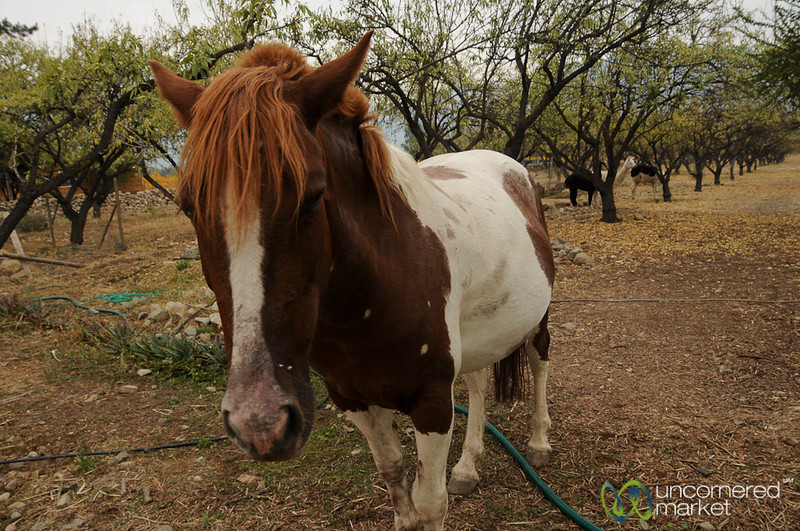 Friendly Horse - Antiyal Winery, Chile